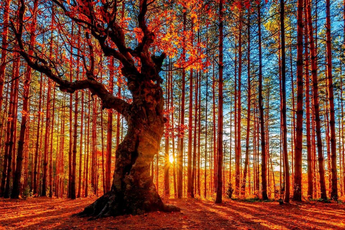 Arbre d'automne au milieu de troncs rouges