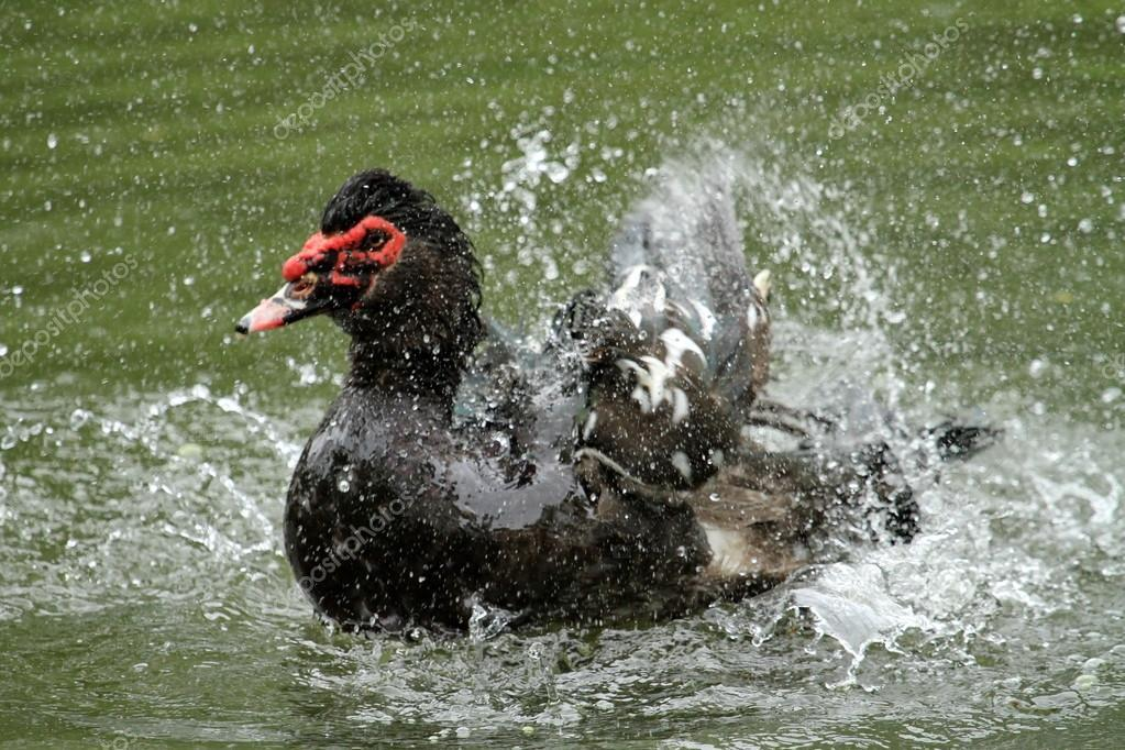 Canard noir aspergé par l'eau
