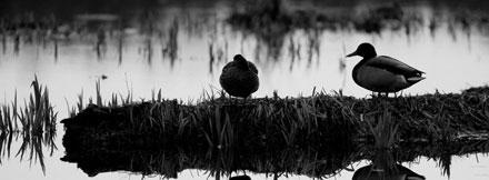 Canard perdu dans l'obscurité
