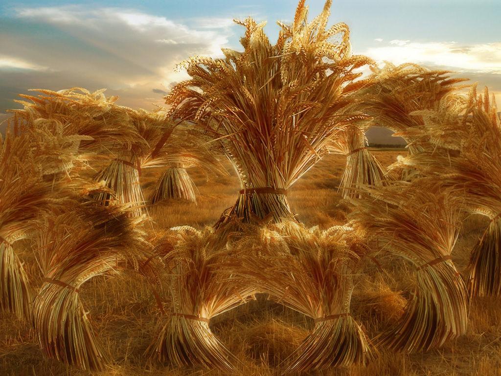 Cercle de blé