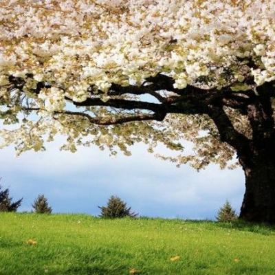 Cerisier en fleurs somptueux