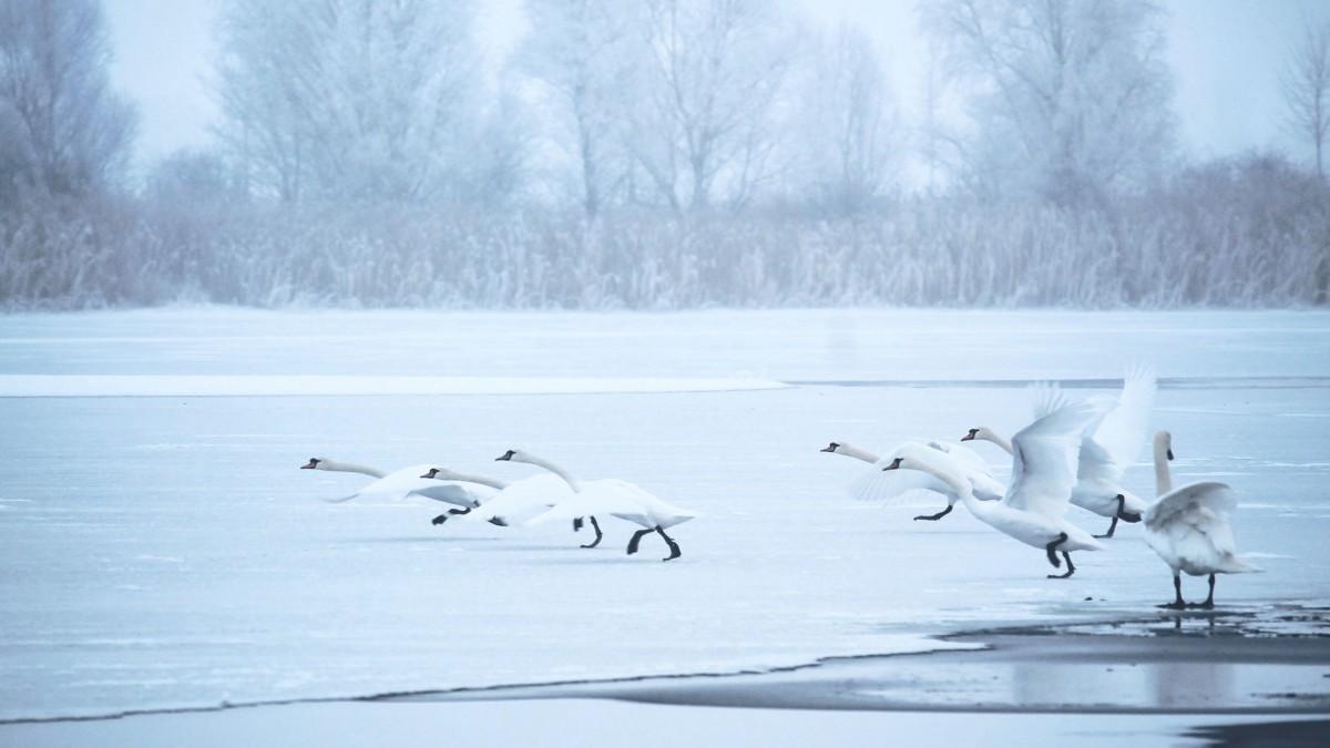 Cygnes sur lac hivernal