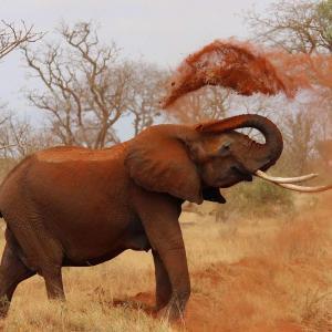 Eléphant jouant avec terre rouge