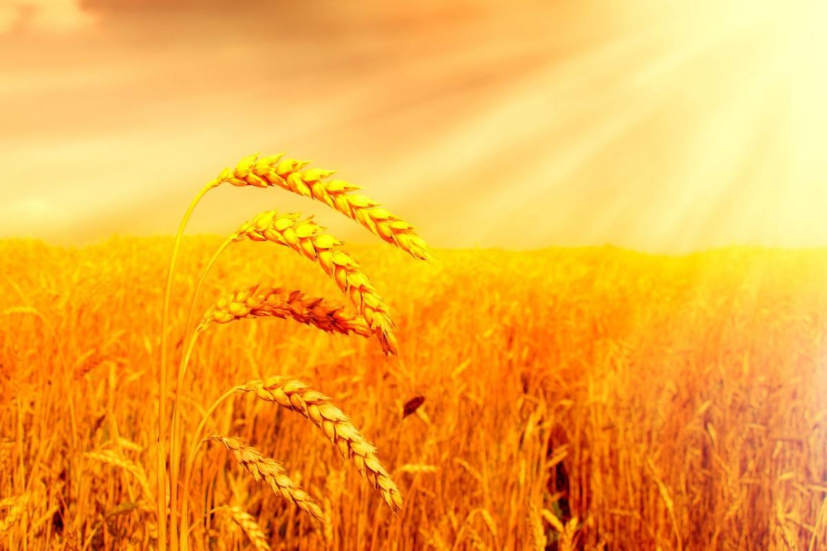 Epis de blé d'or embrasés par lueurs du soleil