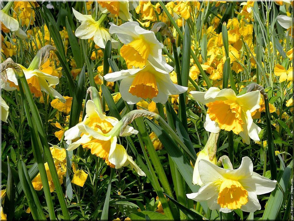 Narcisses-fleurs