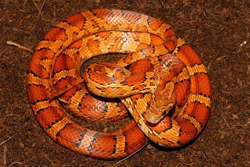 Serpent rouge enroulé sur lui